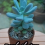 Pachyphytum... (Pachyphytum oviferum)