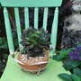 Chair and succulent.... (Echeveria Black Prince.)