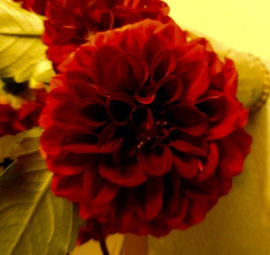 Common Deep Red Dahlia
