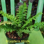 More ferns for the mini woodland area....  (Dryopteris atrata)