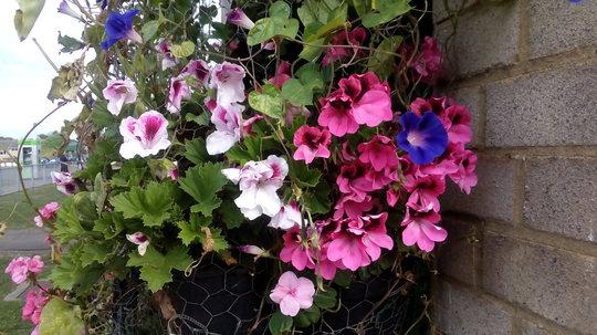 Pelargonium 'Bicolor & Deep pink on balcony railings 14th September 2018 002