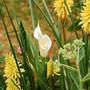 Zantedeschia elliottiana (Zantedeschia elliottiana (Calla Lily))