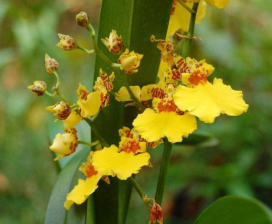 Oncidium (Orchid)