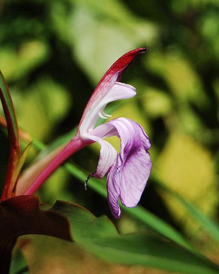 Roscoea purpurea 'Spice Island' (Roscoea purpurea)
