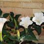 Datura wrightii (Datura wrightii)