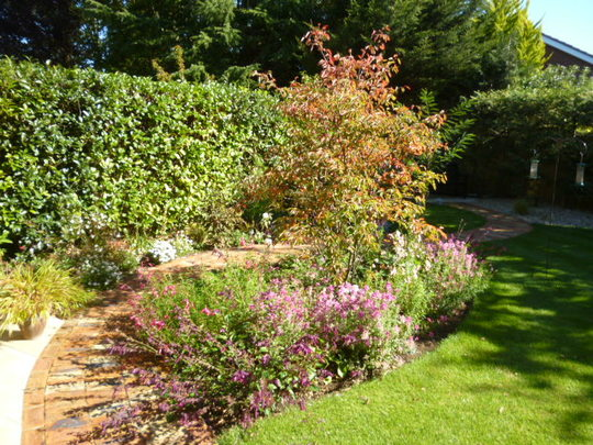 Amelanchier in its autumn glory!