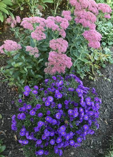 Sedum and miniature Aster