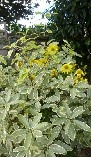 Pittosporum 'Variegatum' (Pittosporum eugenioides 'Variegatum')