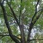 IMG 7753- the walnut tree