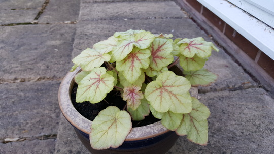 Heucherella Fire Frost
