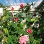 Rose 'Mischief'