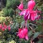 Standard Fuchsia - Garden News
