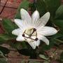 Passiflora - Constance Eliott