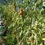 Harbinger tomatoes