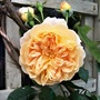 Rose 'Crown Princess Margareta'