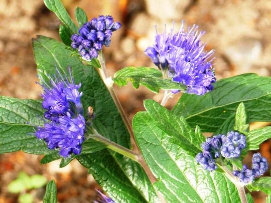 Caryopteris x clandonensis     Grand Blue