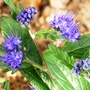 Caryopteris_x_clandonensis_grand_blue_.2