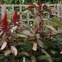 Amaranthus sp.