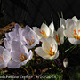 Autumn Crocus Niveus is name missing on picture (white one)