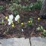 Colchicum speciosum album and Sternbergia lutea