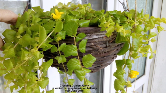 Creeping Golden Jenny in wicker hanging basket on balcony 16th June 2018 (Lysimachia nummularia)