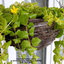 Creeping Golden Jenny in wicker hanging basket on balcony 16th June 2018 (Lysimachia nummularia)