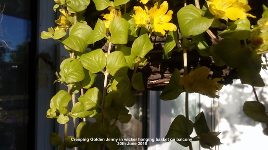 Creeping Golden Jenny in wicker hanging basket on balcony 30th June 2018 (Lysimachia nummularia)