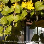Creeping Golden Jenny in wicker hanging basket on balcony 30th June 2018 (Lysimachia nummularia)