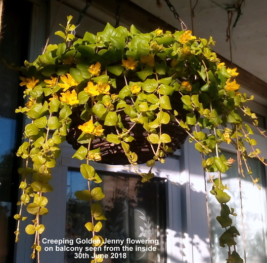 Creeping Golden Jenny flowering on balcony seen from the inside 30th June 2018 (Lysimachia nummularia (Creeping jenny))