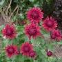 Chrysanthemum 'Ruby Mound' - 2018 (Chrysanthemum)