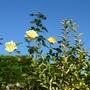 09/10/18    Roses