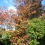 autumn colours Amelanchier (Amelanchier lamarckii (Snowy mespilus))