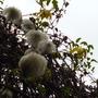 seed heads (Clematis tangutica 'Bill McKenzie')