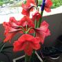 Fully open amarillis (Amaryllis Red King)