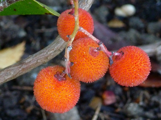Arbutus Fruit