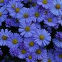 Blue Aster......