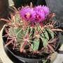 Barrel Cactus. (Ferocactus latisspinus.)