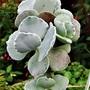 Cotyledon orbiculata undulata