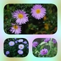 Aster Collage...