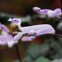 Plectranthus 'Mona Lavender' (Plectranthus)