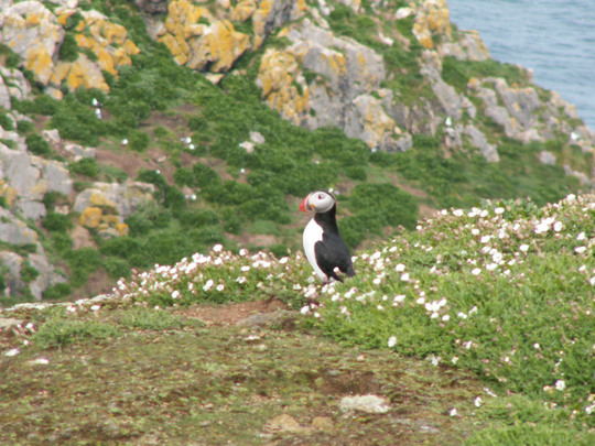 puffin on Skomer