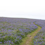 Skomer_bluebells_with_rabbit