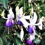 Fuchsia 'Delta's Sarah'