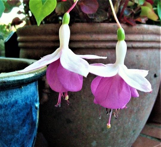 Fuchsia 'Rose of Denmark'