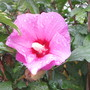 Hibiscus 'Bluebird' (For my File) (Hibiscus syriacus (Gurhul))