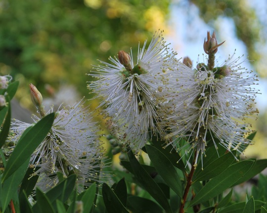 Callistemon White Anzac.... (Callistemon citrinus (Bottle brush) White Anzac)