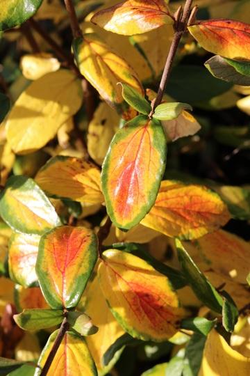Viburnum carlesii leaves (Viburnum carlesii (Viburnum))