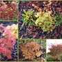 Some of the Acers in October