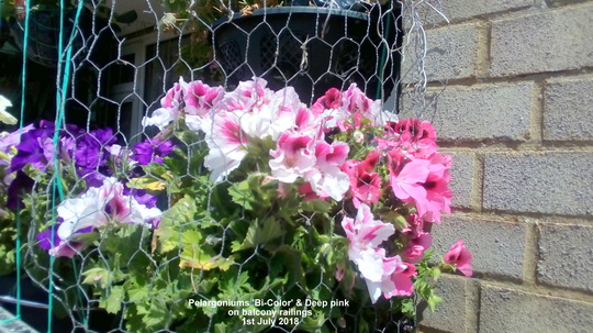 Pelargoniums 'Bi-Color' & (Deep pink) on balcony railings 1st July 2018