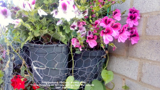 Pelargoniums 'Bi-Color' & (Deep pink) now flowering on balcony railings from the outside 24th July 2018